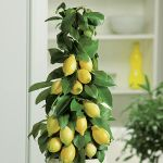 Lemon Tree 12L Pot (80-120cm) - Citrus Limonum
