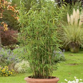 3ft Umbrella Bamboo | 10L Pot | Fargesia murieliae Jumbo