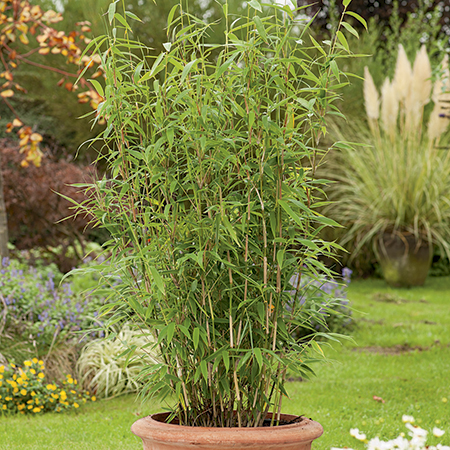 6ft Umbrella Bamboo | 35L Pot | Fargesia murieliae Jumbo