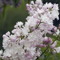 4ft Beauty of Moscow Lilac | 7L Pot | Syringa vulgaris 'Beauty of Moscow' | By Frank P Matthews™