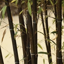 Pair of 6ft Black Bamboo | 10L Pot | Phyllostachys nigra