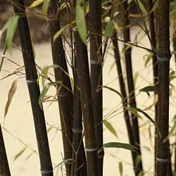 Pair of 6ft Black Bamboo 18L Pot 'Phyllostachys nigra'