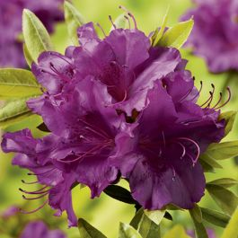 1ft Evergeen Azalea 'Blue Danube' |3L Pot | Azelea japonica