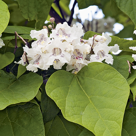 4ft Indian Bean Tree | 7L Pot | Catalpa big Aurea | By Frank P Matthews™