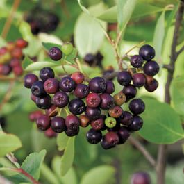 Viking' Chokeberry Bush | Bare Root | Aronia prunifolia