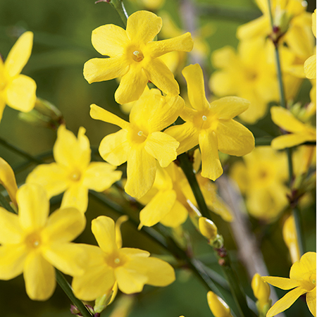 6ft Winter Jasmine | 10L Pot | 'Jasminium nudiflorum'