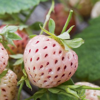 Strawberry Pineberry (Pack of 5) Bare root