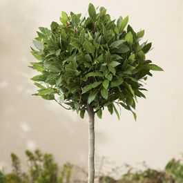 Mini Standard Bay Tree 80cm Trunk 25/30cm Head