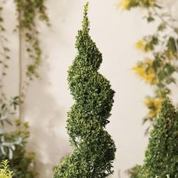 4ft Buxus Topiary Spiral