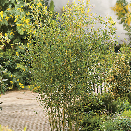5ft Green Bamboo - 18L Pot Phyllostachys Bissetii