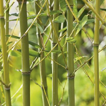 Green Bamboo - 10L Phyllostachys Bissetii