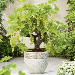 Bonsai White Grape 30L Pot