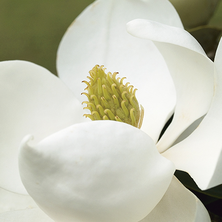 Magnolia Grandiflora Little Gem 25L