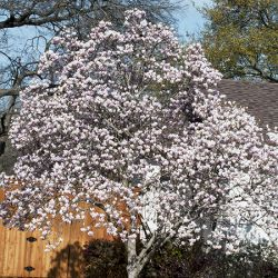 6ft Soulangeana Magnolia Tree| Bushy Stemmed | 30L Pot