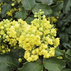 Mahonia aquifolium 'Oregon Grape' 10L Pot