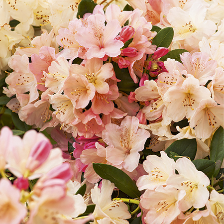 Rhododendron 'Percy Wiseman' | 3L Pot - Rhododendron Yakushimanum