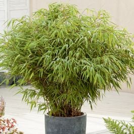 2ft Fargesia rufa Bamboo | 10L Pot