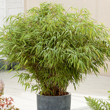 2ft Fargesia 'Rufa' Bamboo | 10L Pot