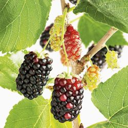 3ft 'Black Mulberry Tree | 3L Pot