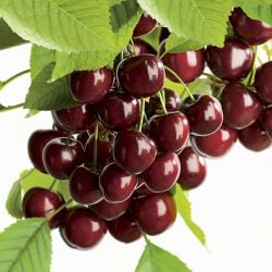 3ft ''Hartland' Patio Cherry Tree | Gisela 5 Semi Dwarfing Rootstock  | 4.5L Pot