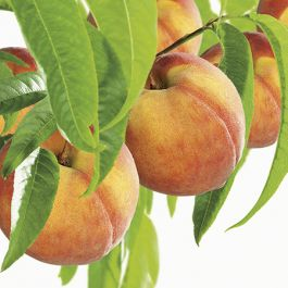 5ft 'Peregrine' Peach Tree | SJA Semi Vigorous Rootstock  | 7L Pot | By Frank P Matthews™