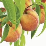 5ft 'Peregrine' Peach Tree | SJA Semi Vigorous Rootstock  | 9L Pot