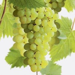 Grape Superior Seedless (white, outdoor) 2L