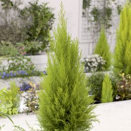 4ft Monterey cypress 'Goldcrest' | 5L Pot | 'Cupressus Macrocarpa Goldcrest'
