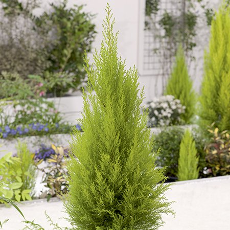 3ft Monterey Cypress 'Goldcrest' | 5L Pot | Cupressus Macrocarpa 'Goldcrest'