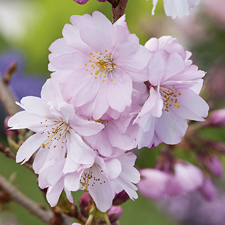 5ft Accolade Cherry Blossom Tree |Bare Root