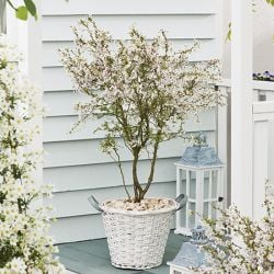 4ft Fuji Dwarf Cherry Blossom Tree | 24L Pot | Prunus Kojo-no-Mai