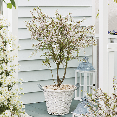 4ft Fuji Dwarf Cherry Blossom Tree | 11.5L Pot | Prunus Incisa Kojo-no-mai | By Frank P Matthews™