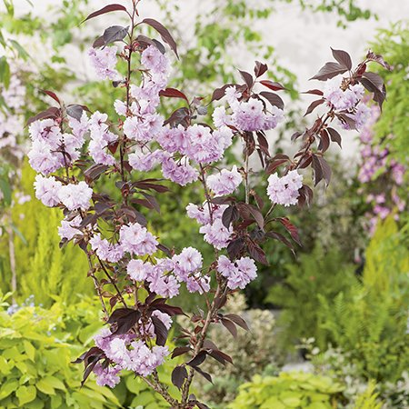 5ft Royal Burgundy Cherry Blossom Tree | 9L Pot