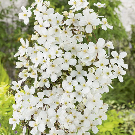 clematis montana 39 grandiflora 39 3l pot. Black Bedroom Furniture Sets. Home Design Ideas