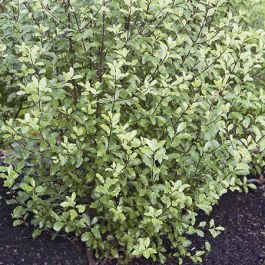 5X Pittosporum Tenuifolium Hedging 15-20cm - 9cm Pot