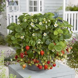 Mara des Bois' Strawberry Plants | Pack of 5 Bare Roots
