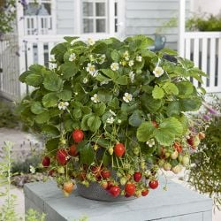 'Mara des Bois' Strawberry Plants | Everbearer | Pack of 5 Bare Roots