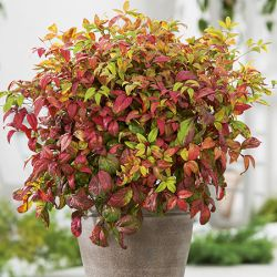 2ft Nandina 'Fire Power' | 10L Pot |Heavenly Bamboo