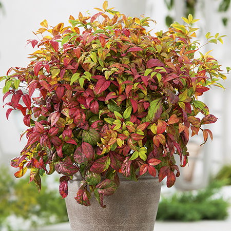 1ft Nandina 'Fire Power' | 5L Pot | Heavenly Bamboo
