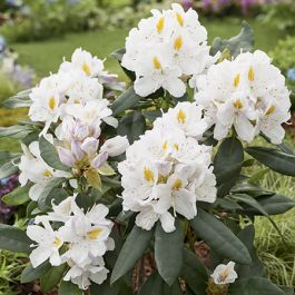 2ft Rhododendron 'Cunningham's White' - 7.5L Pot
