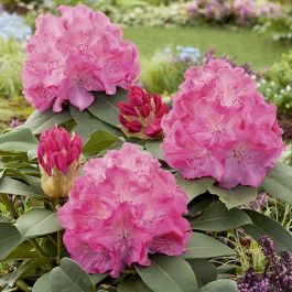 2ft Rhododendron 'Catawbiense Grandiflorum' - 7.5L Pot