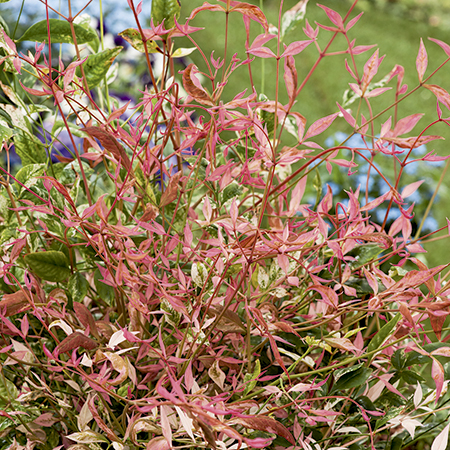 1ft Nandina 'Twilight' | 5L Pot| Heavenly Bamboo