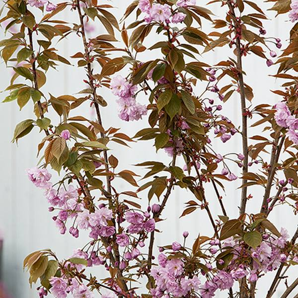 5 Year Old Prunus Kanzan 25L Pot
