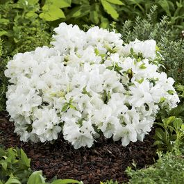1ft Evergeen Azalea 'Pleasant White' |3L Pot | Azelea japonica