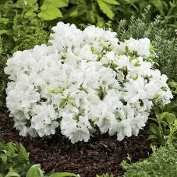 1.5ft Evergreen Azalea 'Pleasant White' | 8L Pot | Azalea japonica