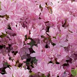 1ft Evergeen Azalea 'Kermesina Rose' |3L Pot | Azelea japonica