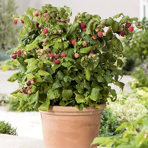 1ft 'Ruby Beauty' Patio Raspberry Bush | 2L Pot