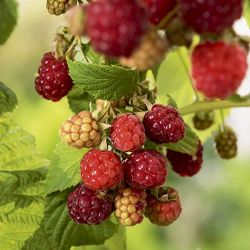1ft 'Glen Ample' Raspberry Bush | 3L Pot