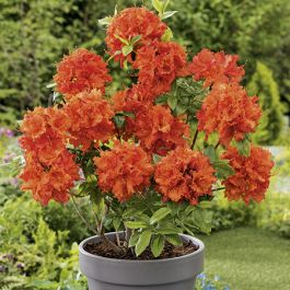 2ft Deciduous Azalea 'Gibraltar' | 5L Pot