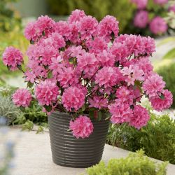 4ft Mature Specimen Azalea Gilbert Mullie - 25L Pot